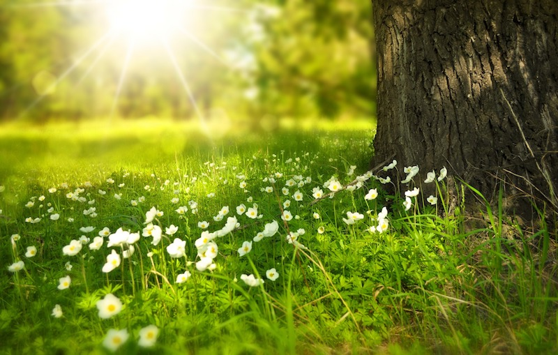 Tree and meadow of white flowers